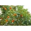 Продам мандариновый сельхоз-бизнес в Абхазии